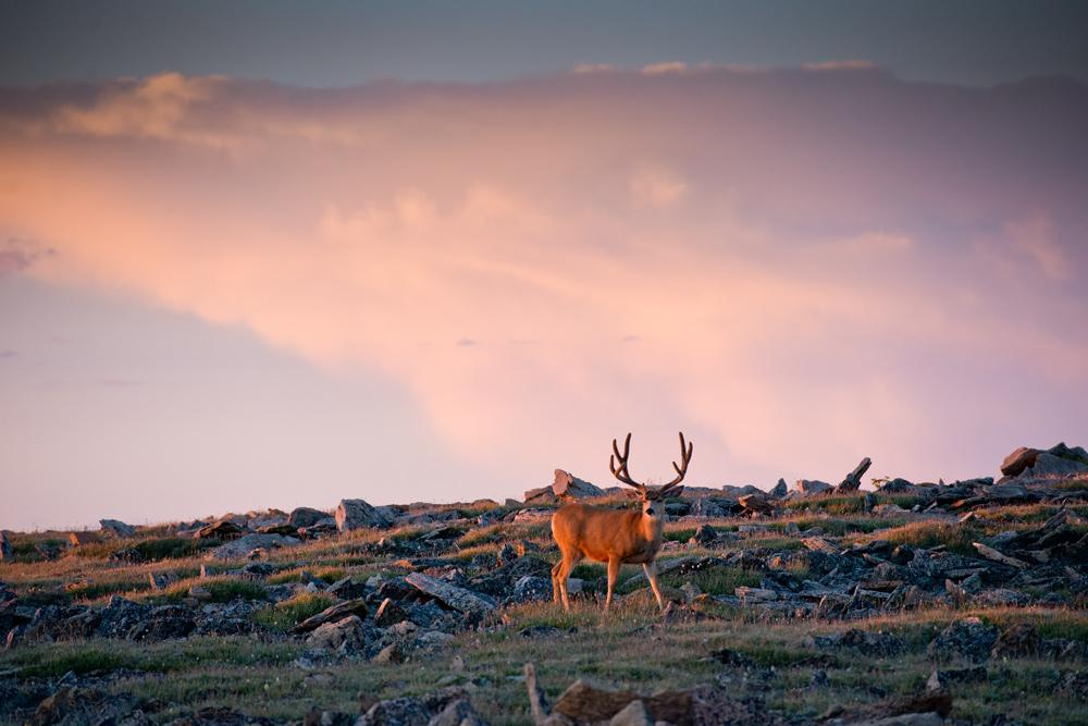Mule deer on tundra